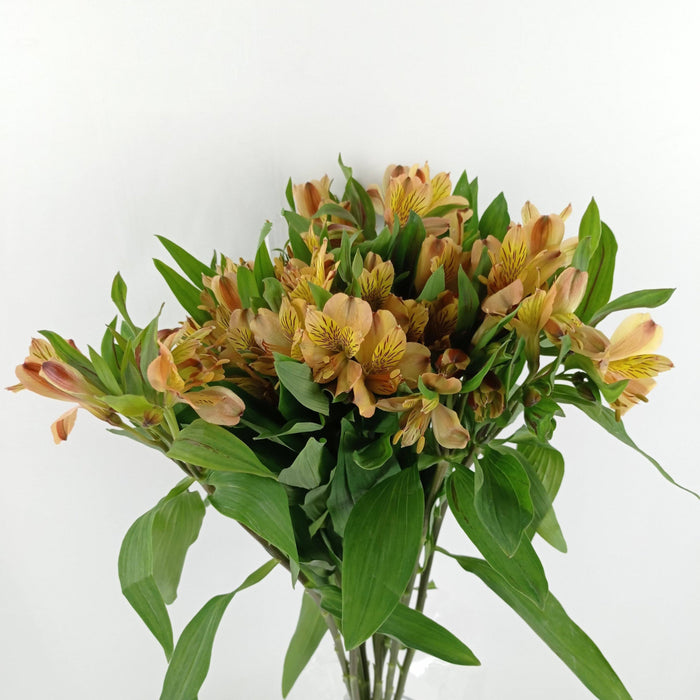 Alstromeria (Imported) - Orange