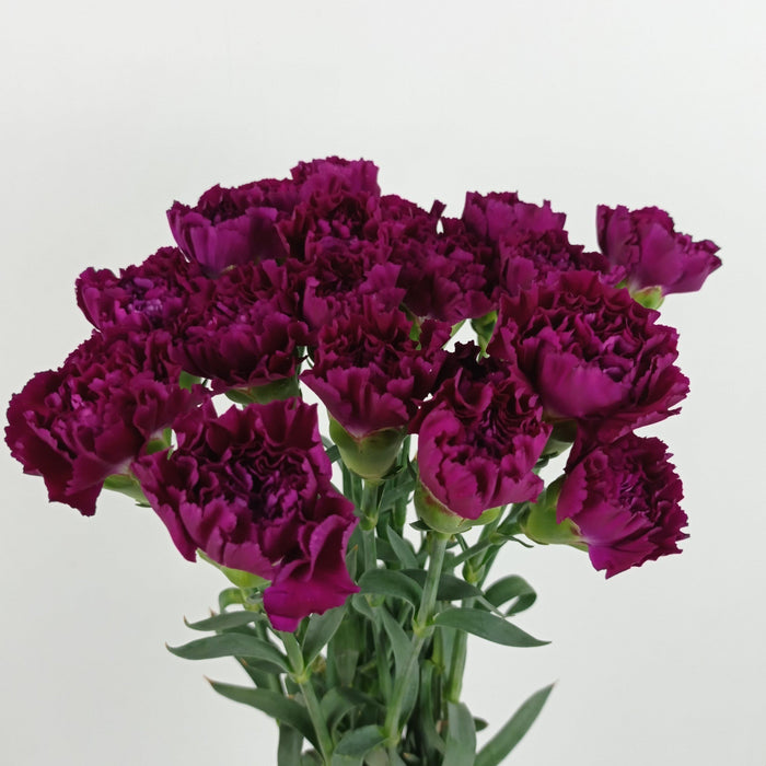 Carnation (Imported) - Purple