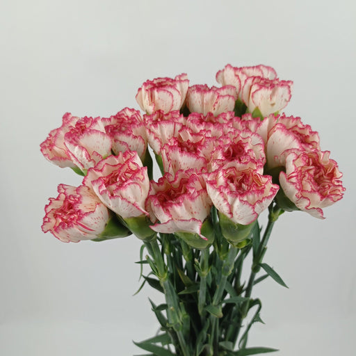 Carnation (Imported) - 2 Tone White Red