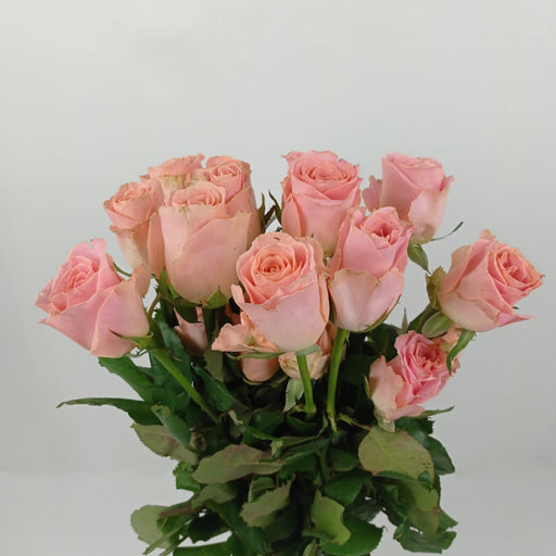 Rose Hermosa India (Imported) - Orange Peach
