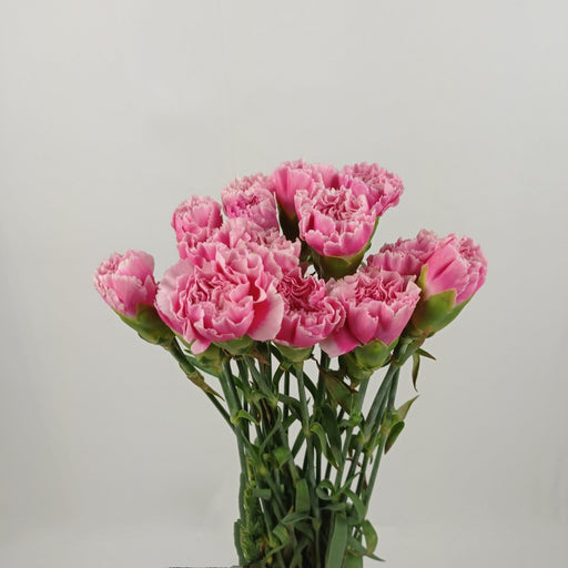 Carnation (Imported) - 2 Tone Pink White