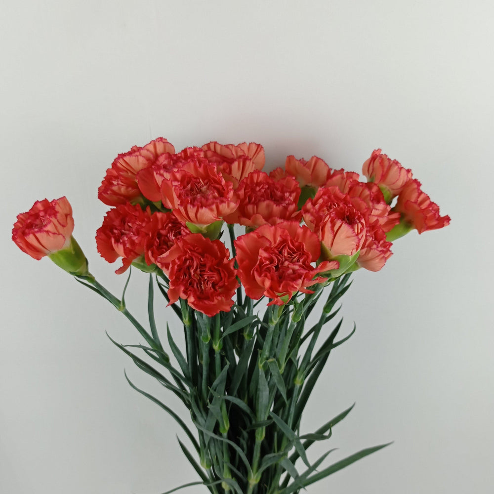 Carnation (Imported) - Orange
