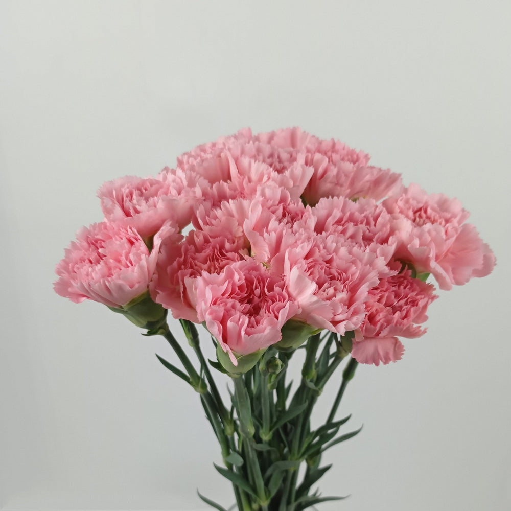 Carnation (Imported) - Light Pink