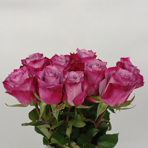 Rose (Imported) - Shocking Pink