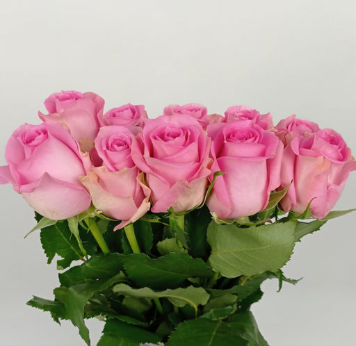 Rose (Imported) - Light Pink