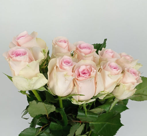 Rose (Et) 40cm (Imported) - Sweet Pink