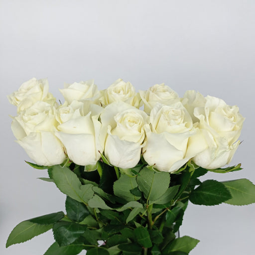 Rose (Et) 40cm (Imported) - White