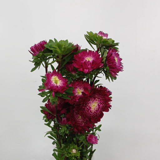 Aster (Imported) - Shocking Pink