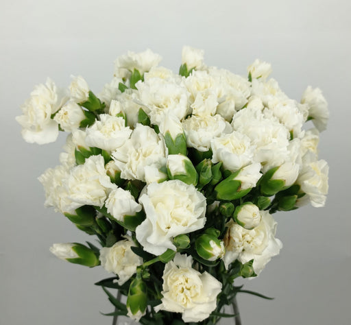 Spray Carnation (Imported) - White