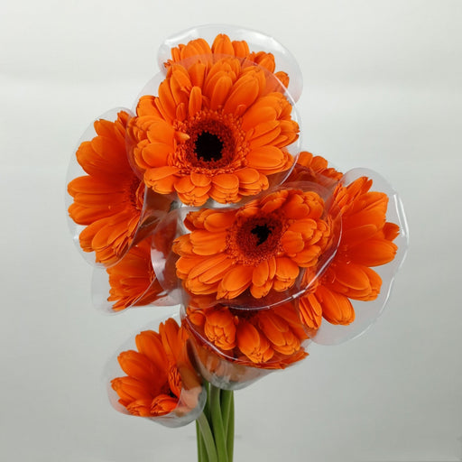 2 Bundle Gerbera (Local) - Bright Orange