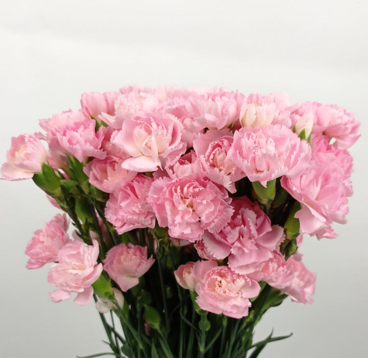 Mother's Day Spray Carnation (Imported) - Dark Pink