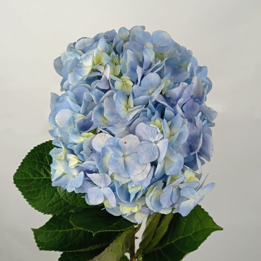 Hydrangea (Imported) - Light Blue