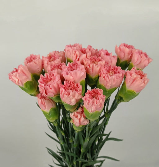 Carnation (Imported) - Pink