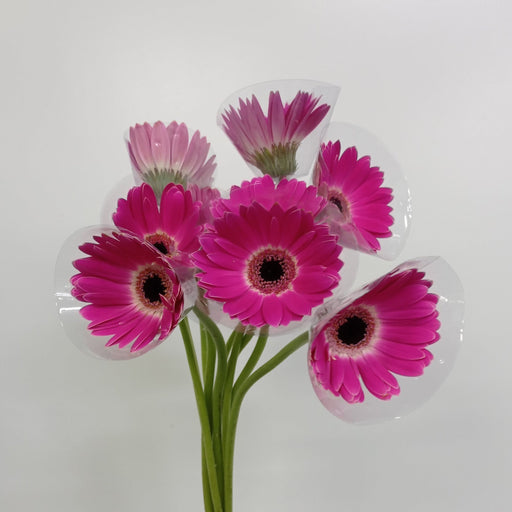 2 Bundle Gerbera (Local) - 2 Tone Purple