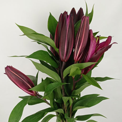 Lily Dark Red (Imported) - Dark Red