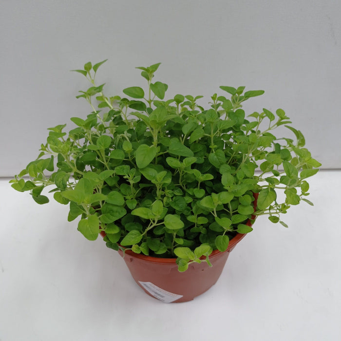 Pot Oregano (Local) - Green