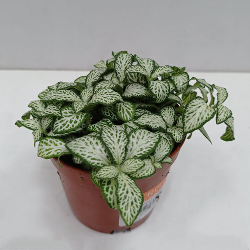 Pot Fittonia (Imported)