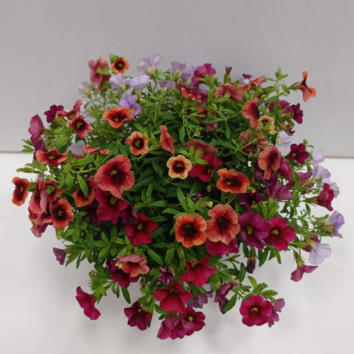 Pot Spring Flower (Imported) - Mix Colour