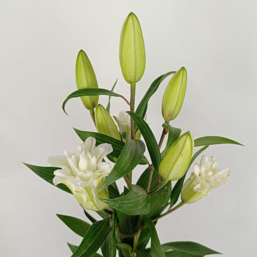 Rose Lily (Imported) - White
