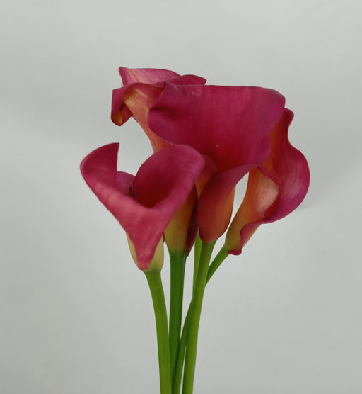 Calla Lily Captain Hollywood (Imported) - Cherry