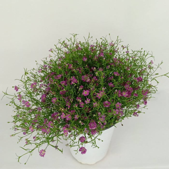 Pot Baby Breath (Imported) - Purple