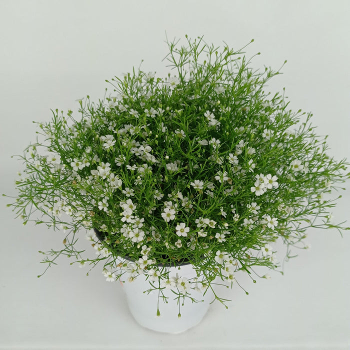 Pot Baby Breath (Imported) - White