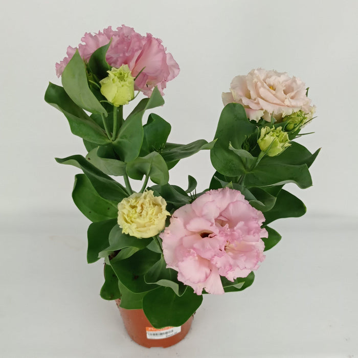 Pot Eustoma (Imported) - Pink