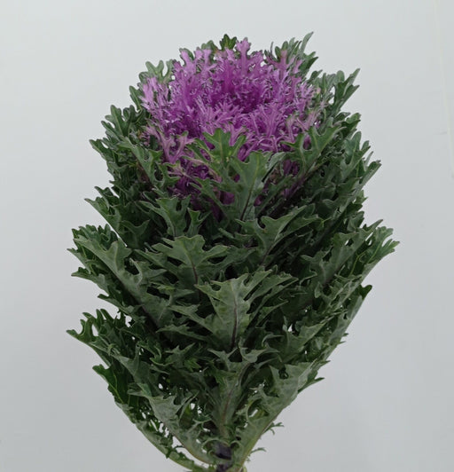 Brassica Mix (Imported) - Purple