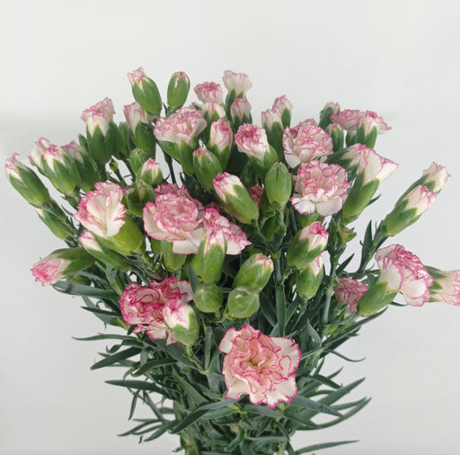 Spray Carnation (Imported) - 2 Tone White Pink