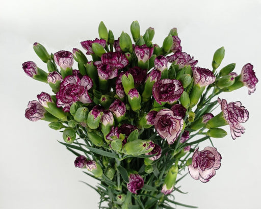Spray Carnation (Imported) - 2 Tone White Purple