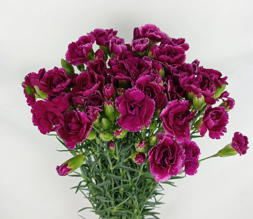 Spray Carnation (Imported) - Purple