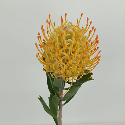 Leuscospermum Nutan (Imported) - 2 Tone Orange Yellow