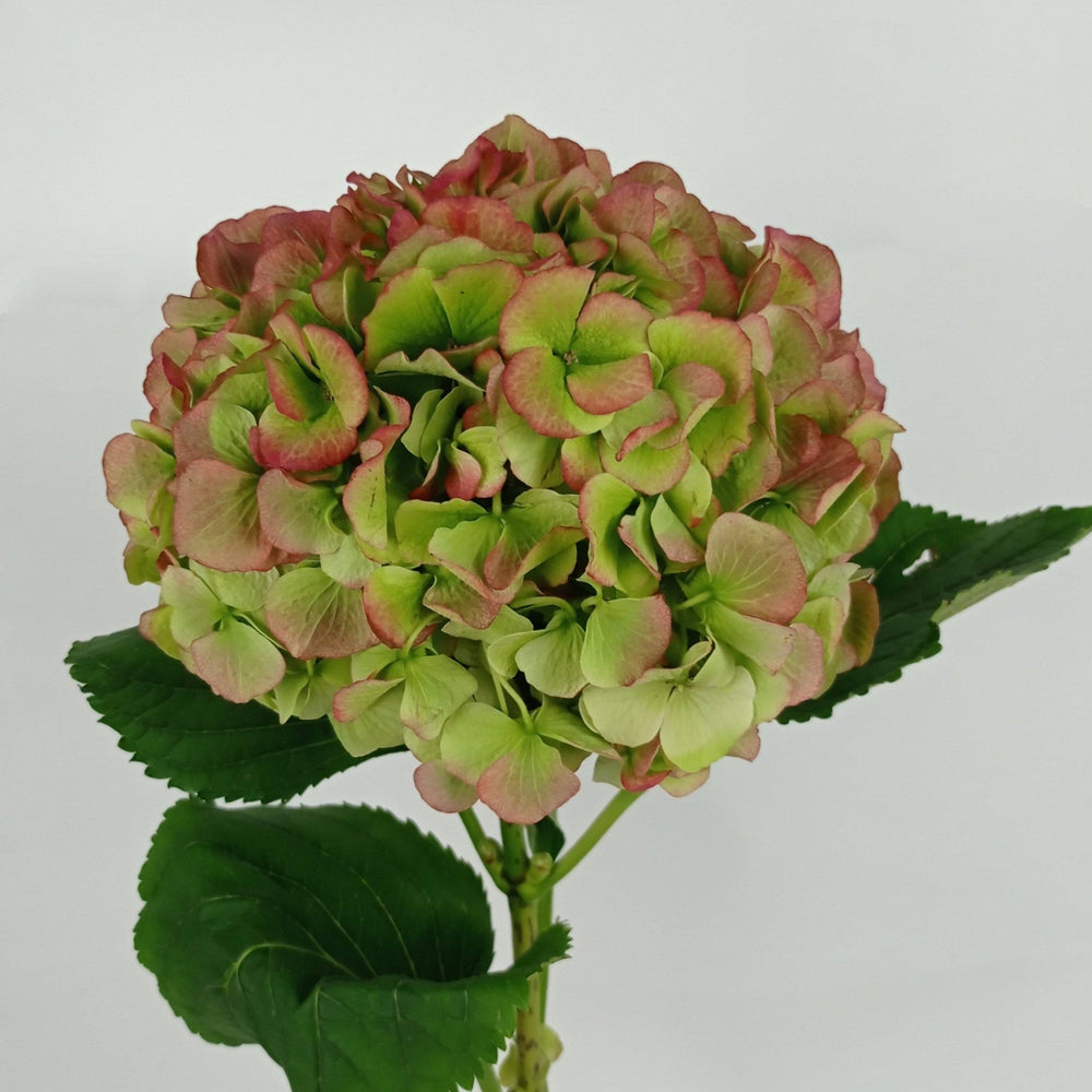 Hydrangea Mix (Imported) - Green Red