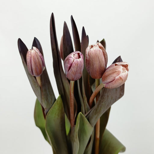 Tulip Painted (Imported) - Light Brown