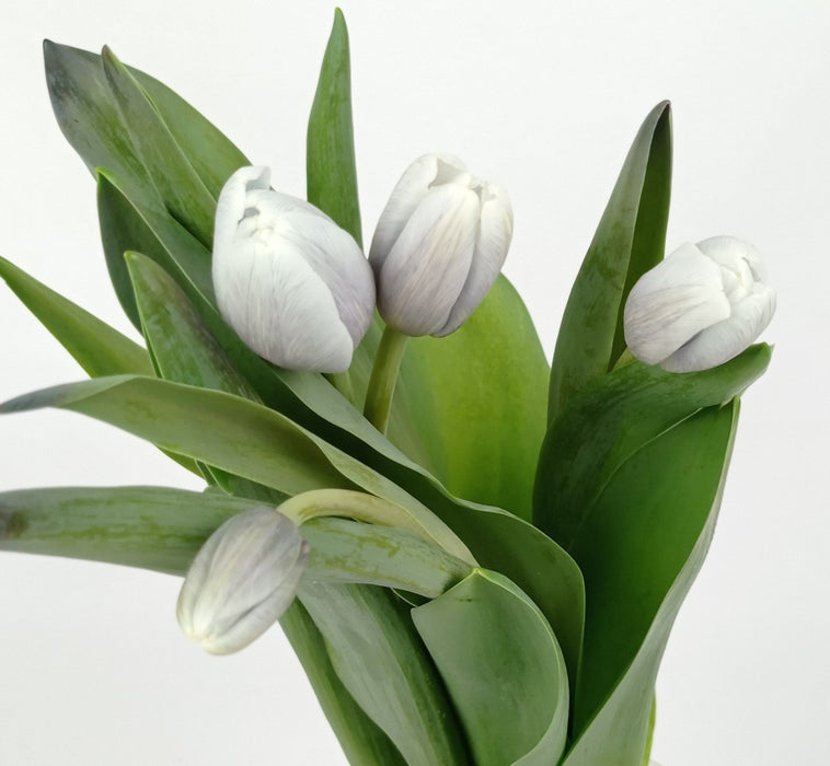 Tulip Painted (Imported) - Light Grey Blue