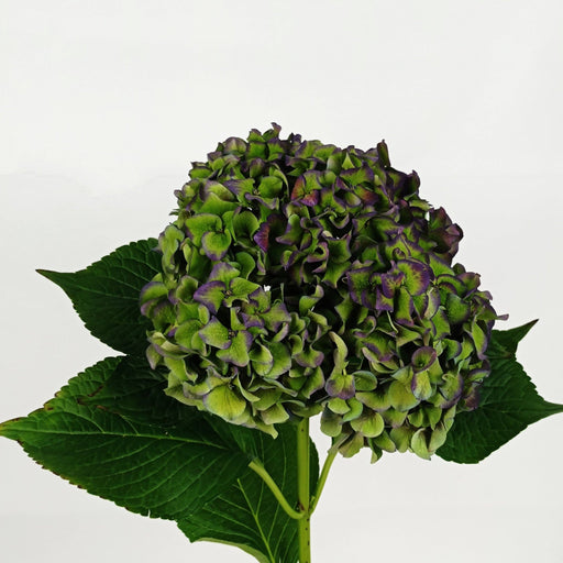 Hydrangea Mix (Imported) - Green Purple