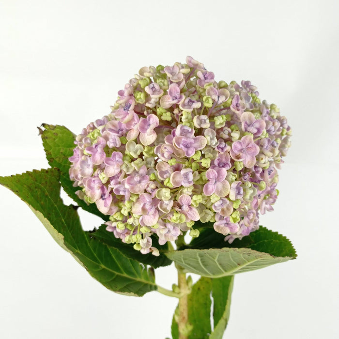 Hydrangea Double Mix (Imported) - Pink
