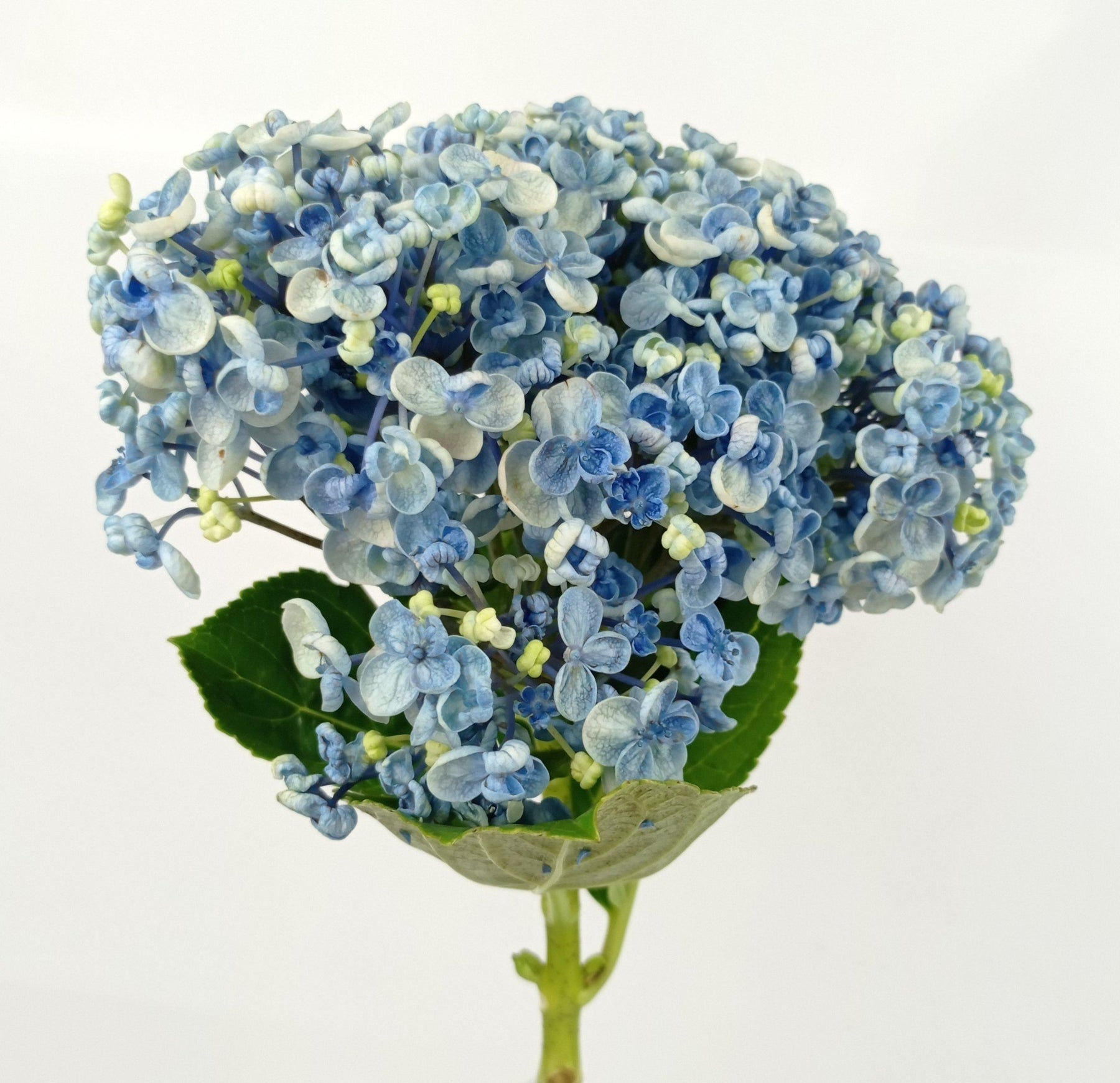 Hydrangea Double Mix (Imported) - Blue