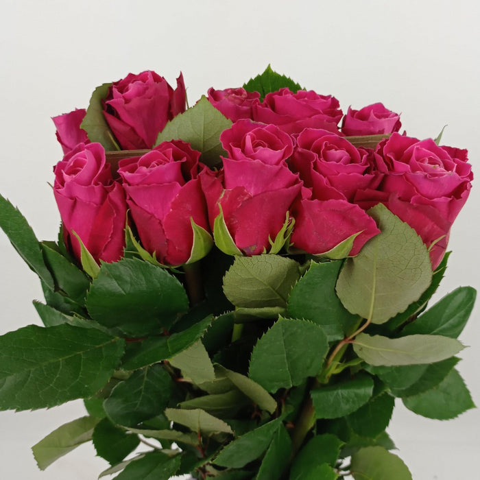 Rose (Ke) Sup 40cm (Imported) - Shocking Pink