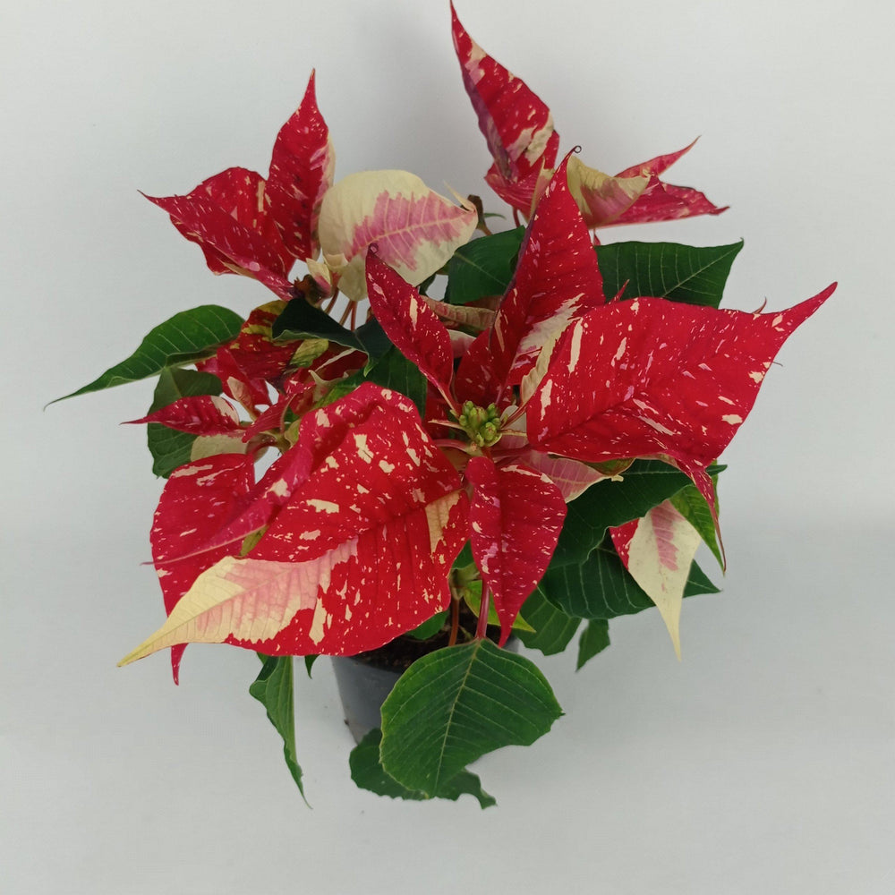 Pot Mini Poinsettia Mix (Imported) - 2 Tone White Red