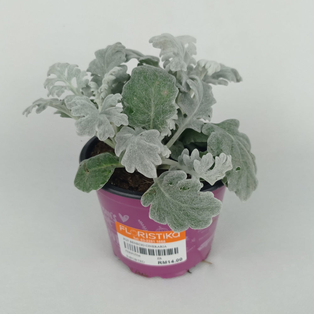 Pot Senecia Cineraria (Imported) - 2 Tone Grey Green
