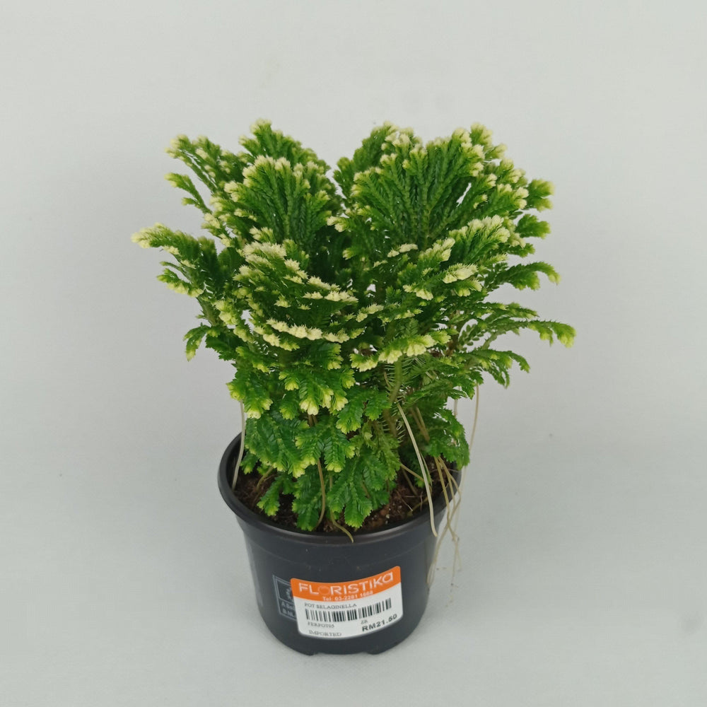 Pot Selaginella (Imported) - Green