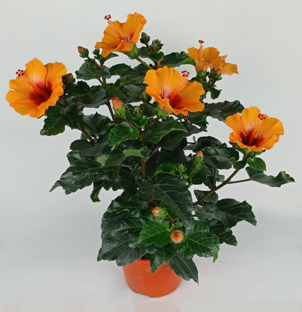 Pot Hibiscus (Local) - Orange