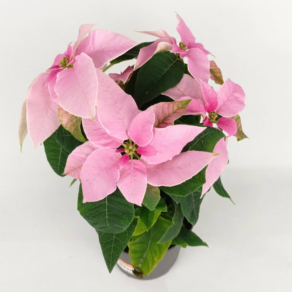 Pot Poinsettia M (Imported) - Light Pink