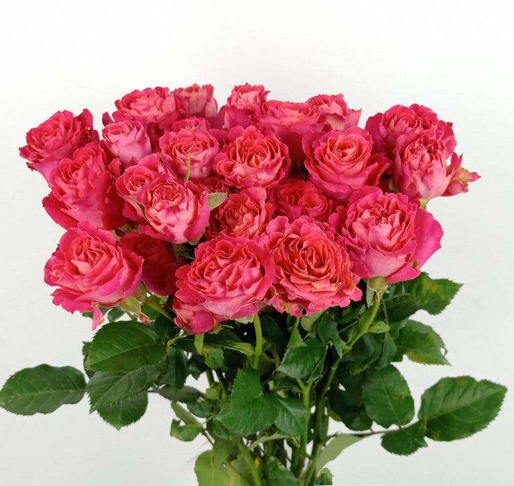 Spray Rose (Imported) - Pink Red