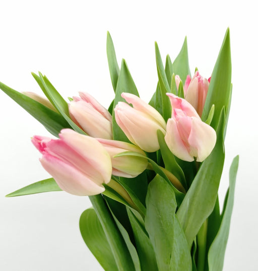 Tulip (Imported) - 2 Tone White Pink