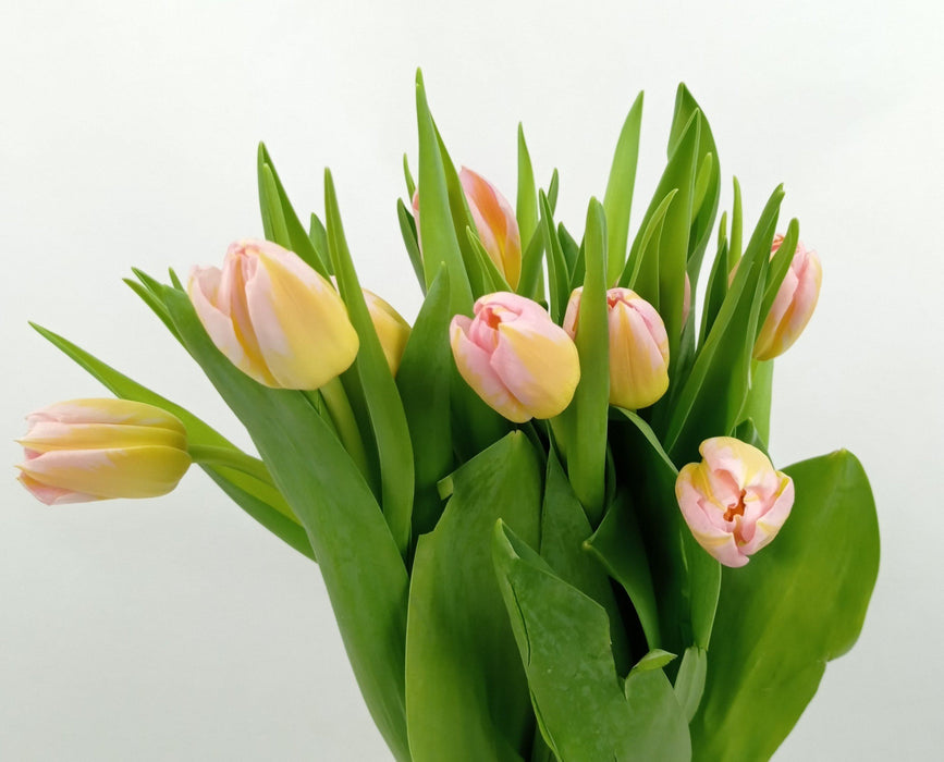Tulip (Imported) - 2 Tone Yellow Pink