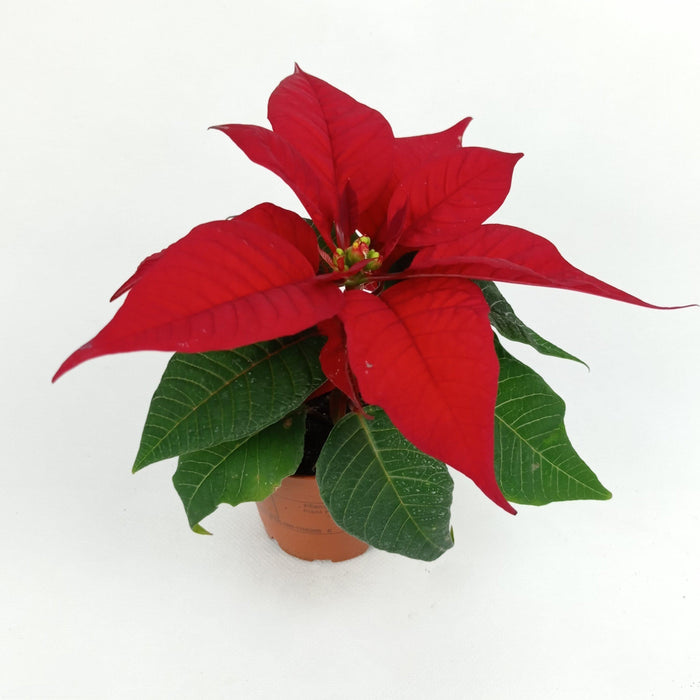 Pot Poinsettia S (Imported) - Red