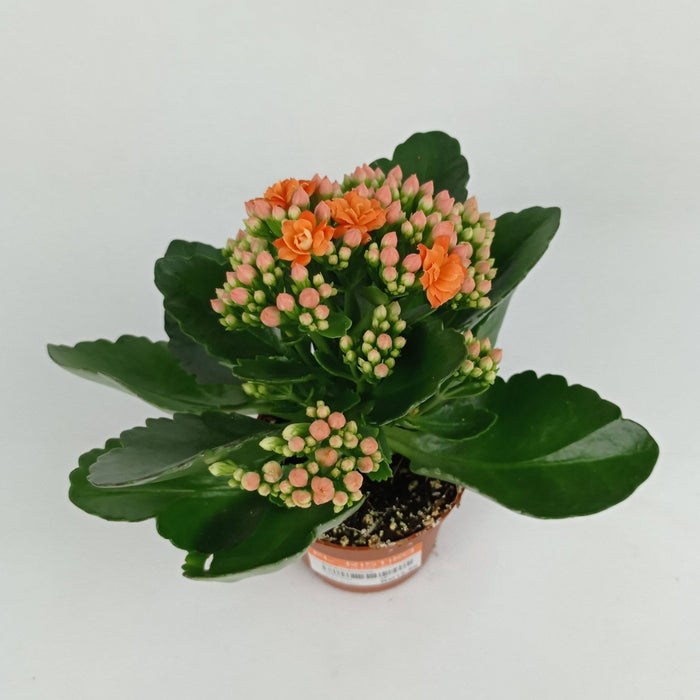 Pot Kalanchoe Orange (Imported) - Orange