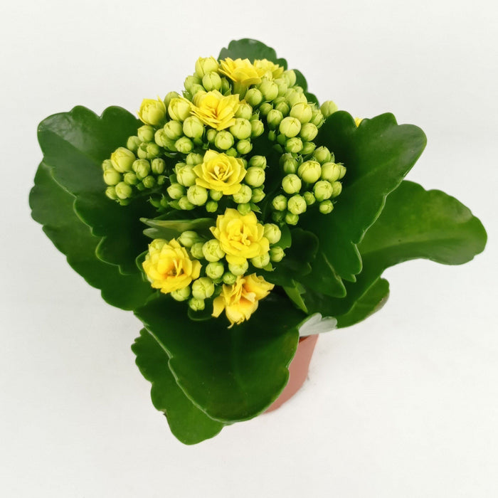 Pot Kalanchoe Mix (Imported) - Yellow